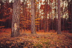 Sunset in the woods. Autumn forrest landscape in Poland, Europe stock photo