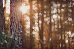 Sunset in the woods. Close up of a pine tree trunk in a forest Royalty Free Stock Image