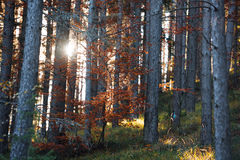 Sunset in the woods Royalty Free Stock Photography