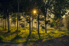 Sunset in the woods. Sunset or morning in the woods, the warm feel with shiny and shadow of the tree this's a beautiful scenery Royalty Free Stock Image