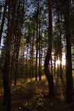 Sunset in the woods. Sunset in the pine forest Stock Photos