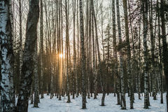 Sunset in the woods. On winter day Royalty Free Stock Images