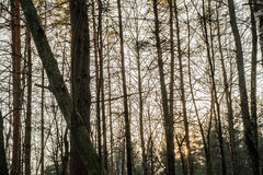 Sunset in the woods. On winter day Royalty Free Stock Photography
