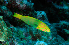 Sunset wrasse (Thalassoma lutescens) stock images