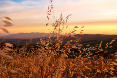 Sunset with yellow grass in Western Cape, South Africa. Sunset with wind rustling through long yellow grass taken on West Coast, South Africa Royalty Free Stock Photography