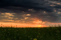 Sunset in yellow rapeseed field Royalty Free Stock Images