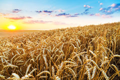 Sunset on yellow wheat field. Royalty Free Stock Photography