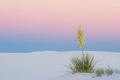 Sunset Yucca at White Sands. A Yucca at dusk in the White Sands National Park, New Mexico, USA royalty free stock photo