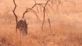 Sunset Zebra Royalty Free Stock Photography