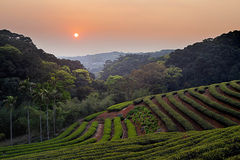 Sunset of Zhu Feng Tea garden in Taiwan Royalty Free Stock Images