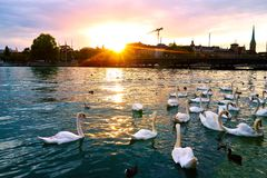Sunset in Zurich. Sunset with swans on the Lake Zurich royalty free stock image