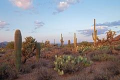 sunsetlit saguaros Стоковые Фото