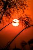 Sunsetting dietro i papyris Fotografia Stock Libera da Diritti