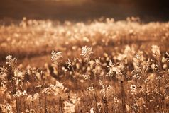 Sunsetting in the meadow. wind blowing. The grass the smell of fall Royalty Free Stock Photography