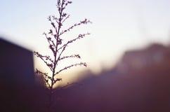 Sunsetting su grano Fotografie Stock