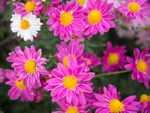 Sunshine's on a bright pink and white Chrysanthemum flowers stock image