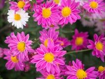 Sunshine's op een heldere roze en witte Chrysantenbloemen stock afbeelding
