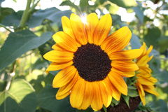 Sunshine. The sun shines in between the petals of a sunflower on a warm September day Royalty Free Stock Photography