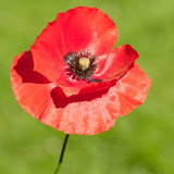 In the Sunshine. A red poppy bloom in front of a green background royalty free stock image