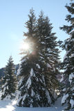 Sunshine. Wintry sunshine behind a tree stock image