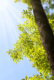 Sunshine and ash tree Royalty Free Stock Image