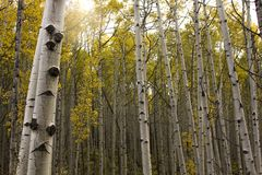 Sunshine through the Aspens. A peek into the worlds largest system of aspens in the world. Located on Kebler Pass in western Colorado Stock Photo