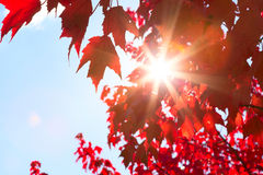 Sunshine through Autumn Leaves Stock Images