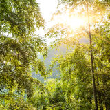 Sunshine through the bamboo forest Stock Photography