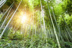 Sunshine through the bamboo forest Royalty Free Stock Image