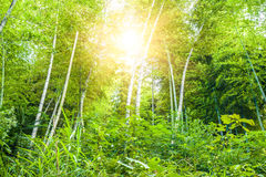 Sunshine through the bamboo forest Royalty Free Stock Photo