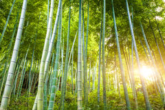Sunshine through the bamboo forest Stock Image