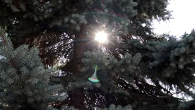 Sunshine beams through fir tree branches in park or forest, lens flare background for intro stock footage