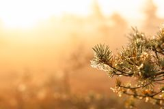 Sunshine beats through the thick mist with conifer branch silhouette. Warm sunrise at a swamp covered in fog. Sunshine beats through the thick mist with conifer stock images
