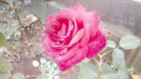 Sunshine - 04. Beautiful rose in sunny winter morning Stock Photo