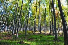 Sunshine through beech tree forest in autumn season. Stock Photo