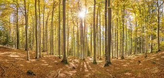 Sunshine in beech tree forest Royalty Free Stock Photos