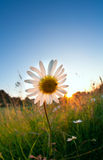 Sunshine behind chamomile flower Royalty Free Stock Photography