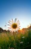 Sunshine behind chamomile flower Royalty Free Stock Photography