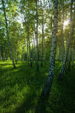 Sunshine in the birches park Royalty Free Stock Photo