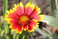 Sunshine Bright Blanket Flower. Close-up of beautiful red and yellow blanket flower stock photos