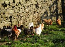 Sunshine on the chickens Stock Photos