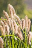 Sunshine on Chinese Fountain Grass. Ears of Chinese Fountain Grass with sunshine in autumn Stock Photo