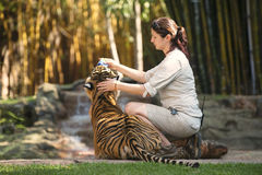 Sunshine Coast, Queensland, Australia - September 17th, 2014: Large Bengal Tiger at Australia Zoo inside its compound. Stock Photography