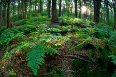 Sunshine in coniferous forest Royalty Free Stock Image