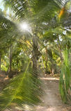 Sunshine in the crown of a coconut palm Stock Photography