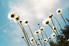 Sunshine Daisies. A bugs views on a patch of daisies Stock Images