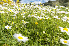Sunshine daisies vibrant wild meadow. Lush green grasses and crisp white oxeye daisies (Leucanthemum vulgare) in this picturesque sunny summer meadow under blue Royalty Free Stock Photos