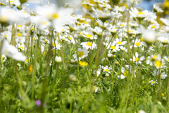 Sunshine daisies vibrant wild meadow. Lush green grasses and crisp white daisies in this picturesque sunny summer meadow under blue skies Stock Photography