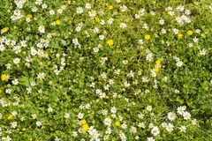 Sunshine daisies vibrant wild meadow. Lush green grasses and crisp white daisies in this picturesque sunny summer meadow under blue skies Royalty Free Stock Image