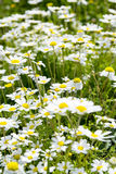 Sunshine daisies vibrant wild meadow. Lush green grasses and crisp white daisies in this picturesque sunny summer meadow under blue skies Royalty Free Stock Photos